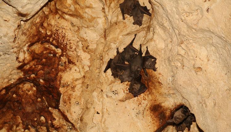 蝙蝠洞穴,蝙蝠